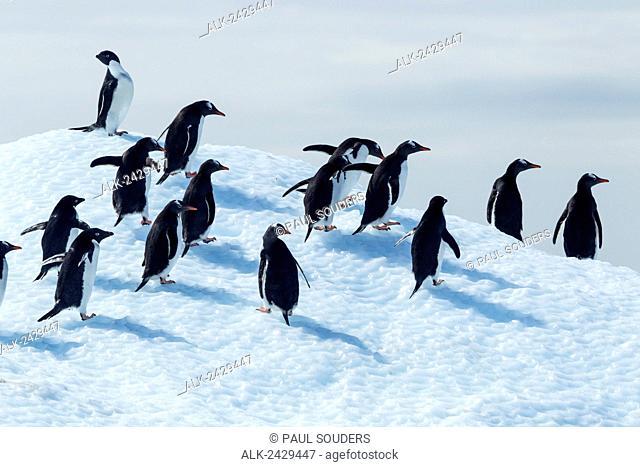 Antarctica, Adelie Penguins (Pygoscelis adeliae) and Gentoo Penguin (Pygoscelis papua) standing atop melting iceberg in Gerlache Strait