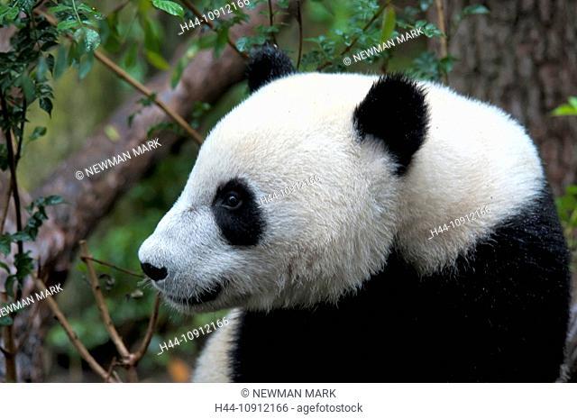 giant panda, panda, animal, black, white, baby, ailuropoda melanoleuca