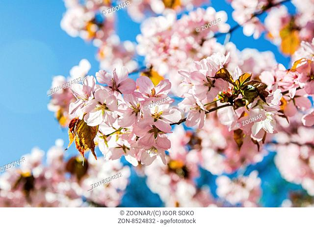 Beautiful blossoming Sakura close up. A spring background
