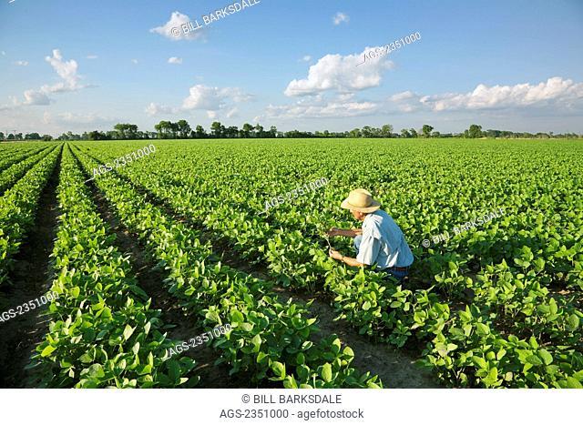 Agriculture - A farmer (grower) inspects his mid growth crop of soybeans / near Jonesboro, Arkansas, USA