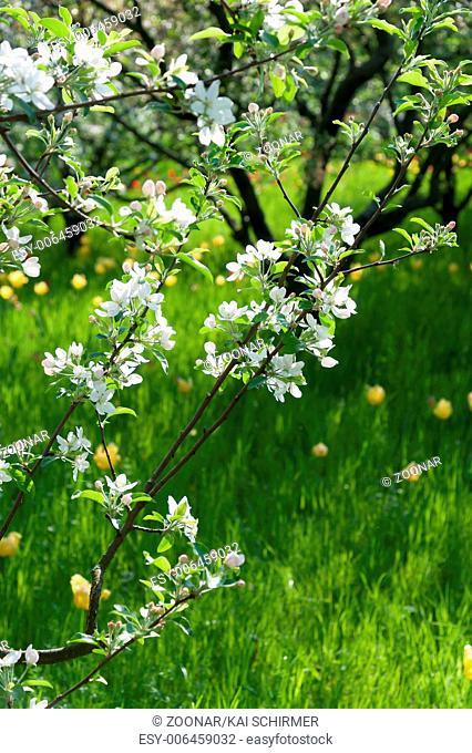 Blopfelbaum im Frühlingoming apple tree in spring