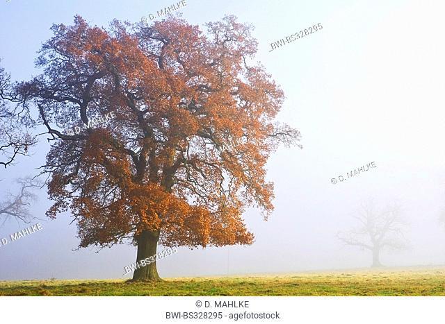 common oak, pedunculate oak, English oak (Quercus robur), old oak in mist, Germany, Hesse, Beberbeck