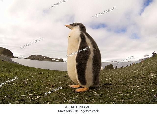 Antarctica, South Shetlands Islands, Aitcho Island, Gentoo Penguin