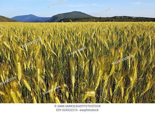 Wheat field, Gorges du Verdon, Provence, France, Europe