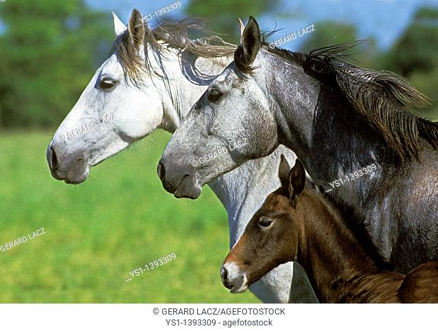 Lusitano Horse, Mare with Foal