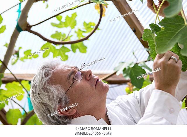 Hispanic scientist examining plants in greenhouse