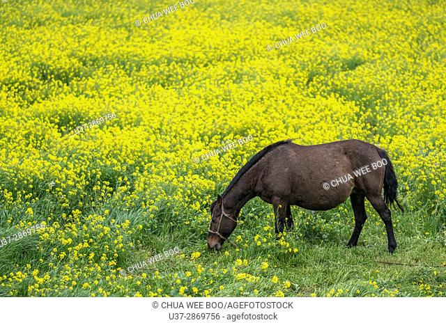 Horse in Rape Field, Jeju Island, Korea