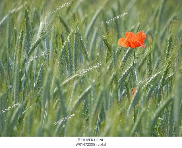 Poppy Flower in cornfield