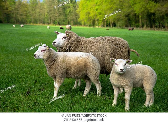 mother sheep or ewe with two lambs at grassland in holland