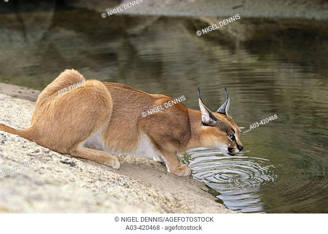 Caracal, Felis caracal, Augrabies Falls National Park, South Africa