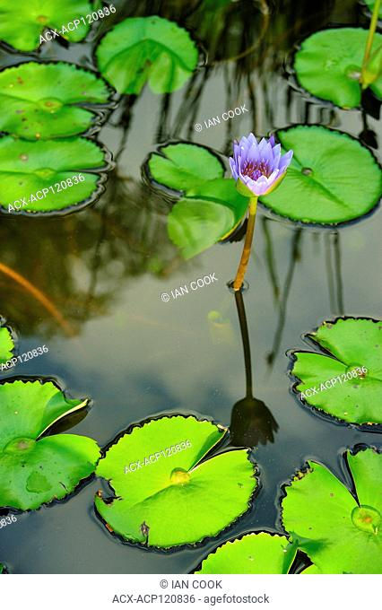 lily, Nymphaeaceae, in water garden, Khao Lak, Pang Nga Province, Thailand
