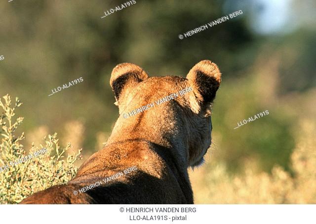 Close-up of Lioness Panthera leo From Behind  Savuti, Chobe National Park, Botswana