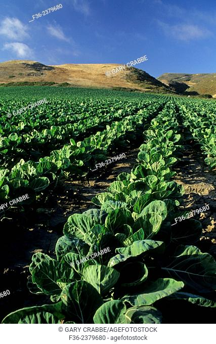 Rows of vegetables planted at Fambrini's Produce Stand, Davenport Santa Cruz County coast, California