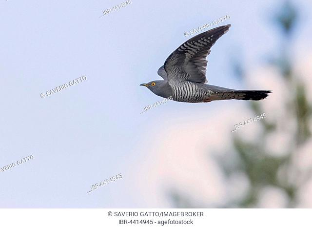 Common Cuckoo (Cuculus canorus), adult bird in flight, Oulu, Northern Ostrobothnia, Finland