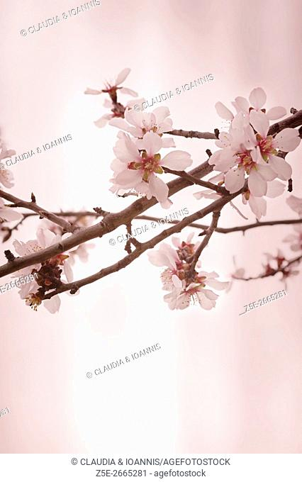 Almond blossoms against bright pink background