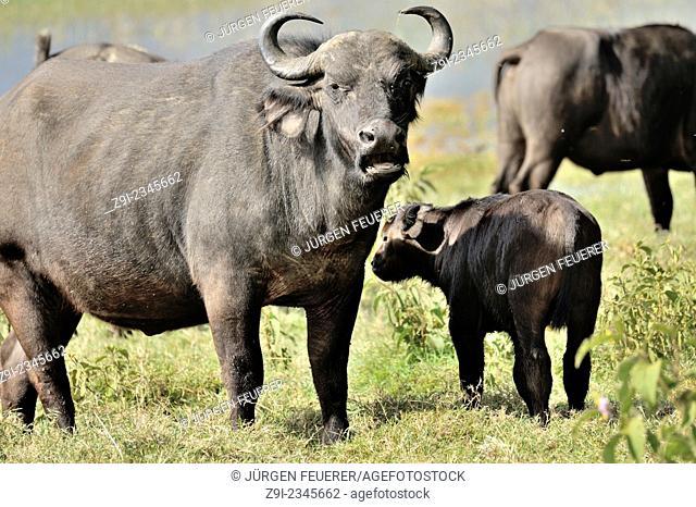 Buffalos, Syncerus caffer, in the Nakuru Reserve, Kenya