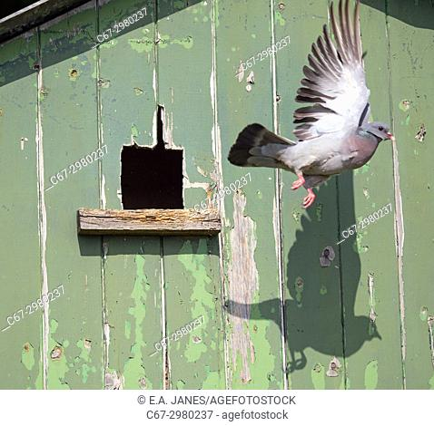 Stock Dove Columba oenas flying from nest in farm shed