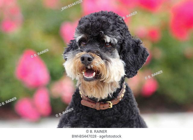 Poodle (Canis lupus f. familiaris), five years old she-dog in front of blooming dog roses, portrait, Germany