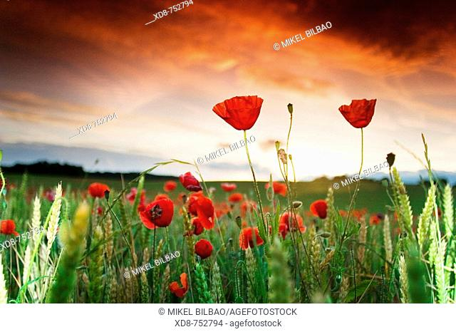 Poppy (Papaver rhoeas) field at sunset