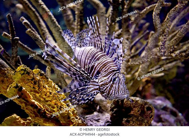 Red Lionfish on display in The Gallery at Riply's Aqarium of Canada at base of CN Tower, Toronto, Canada