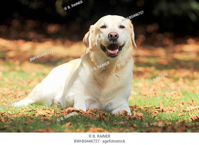 Labrador Retriever (Canis lupus f. familiaris), ten years old male dog in yellow lying in a maedow with foliage, Germany