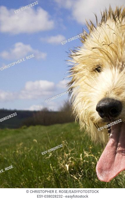 Young lurcher dog waiting for a walk through fields
