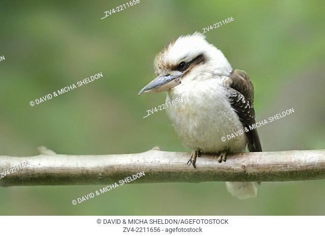 Close-up of a Laughing Kookaburra (Dacelo novaeguineae)