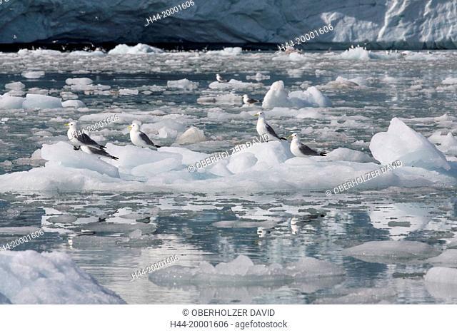 Arctic, Kittiwake, rissa tridactyla, pack ice