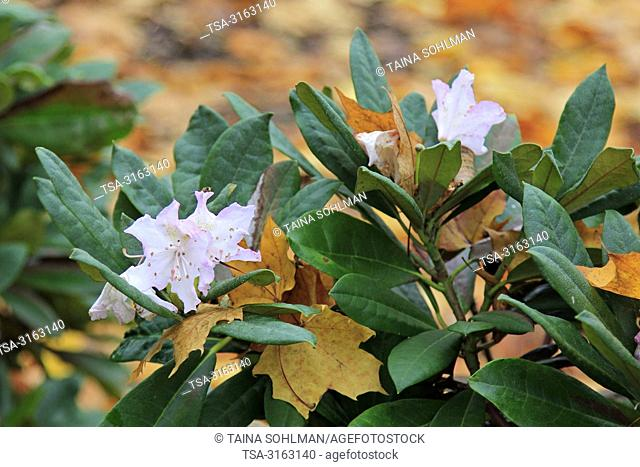 Helsinki, Finland - October 18, 2018. Rhododendron flowers and fallen yellow leaves. Some plants are fooled into flowering in a second spring due to...