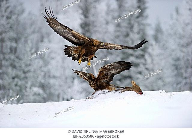 Golden Eagles (Aquila chrysaetos), fighting over food, winter, Finland, Europe