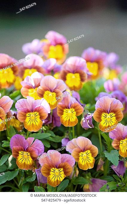 Pansy Flowers. Viola x wittrockiana