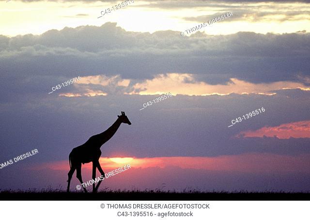 Masai Giraffe Giraffa camelopardalis tippelskirchi - At sunset  Masai Mara National Reserve, Kenya