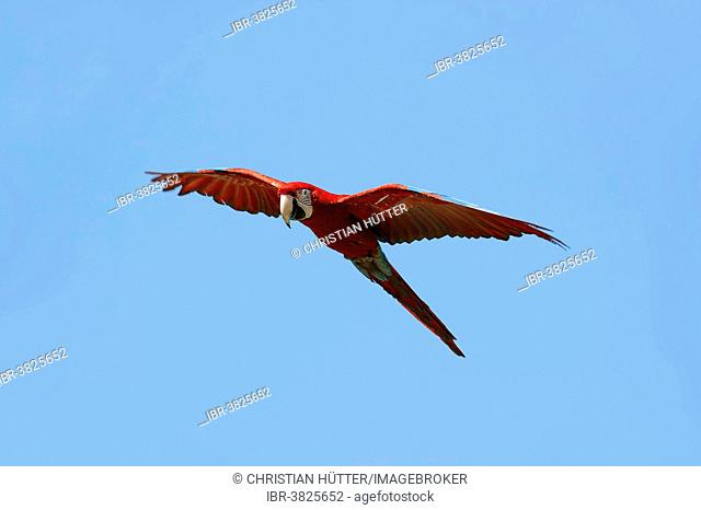 Red-and-green Macaw (Ara chloropterus, Ara chloroptera), in flight, native to South America, captive, Germany