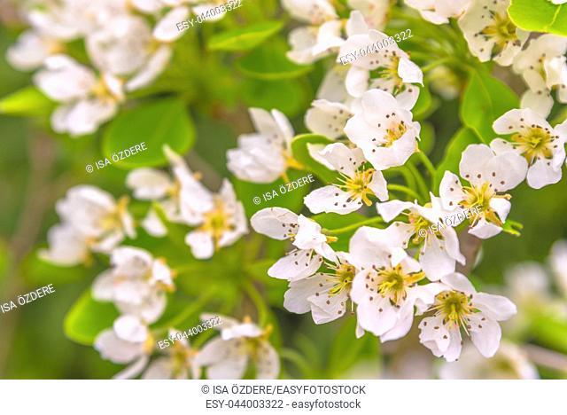 Soft view of White flowers of a flowering quince,Cydonia oblonga, on natural green background