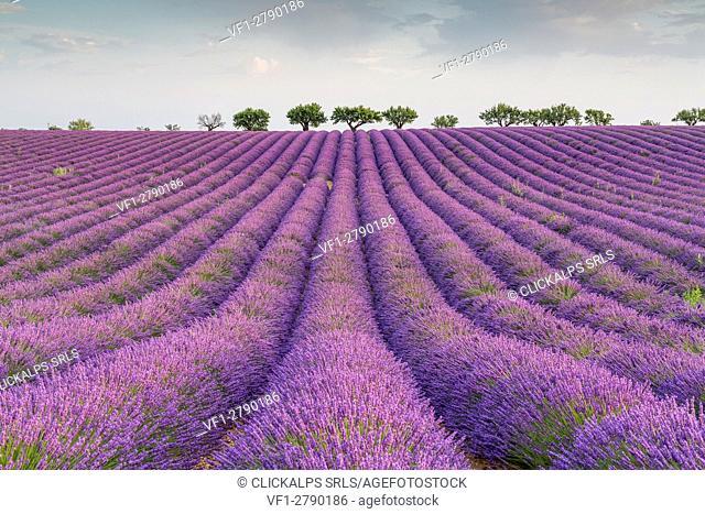 Lavender raws and trees. Plateau de Valensole, Alpes-de-Haute-Provence, Provence-Alpes-Cote d'Azur, France, Europe
