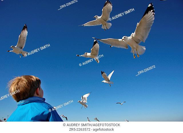 A young boy watches a flock of gulls hover over his head; Florida, USA