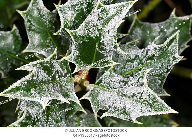 frost on holly leaves close up