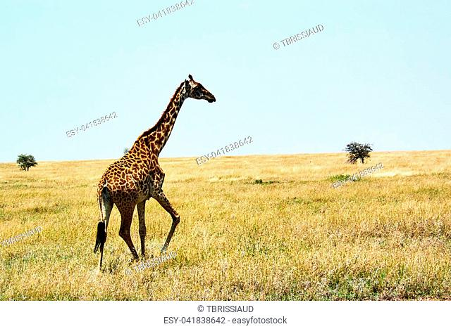 Twin giraffes in Tanzania Serengetti park with yellow grass and sunset and birds