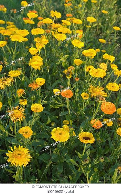 Calendula flowers in a flower bed