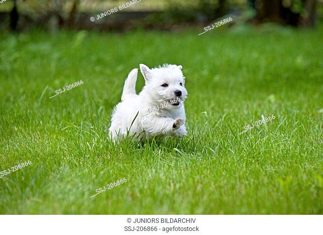West Highland White Terrier. Puppy (7 weeks old) running on a lawn. Germany