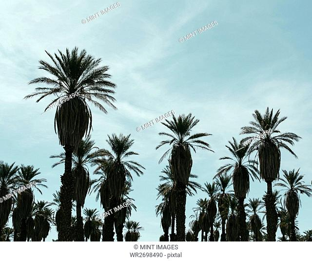 Silhouette of date palm trees, Death Valley National Park, USA