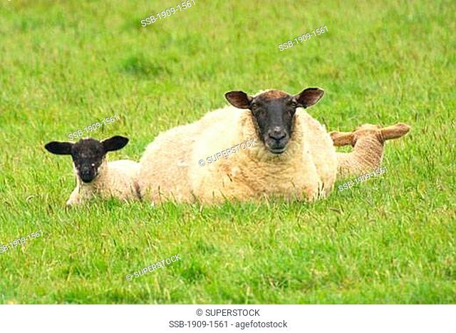 Sheep with two lambs in field in spring Dorset England UK GB Europe EU