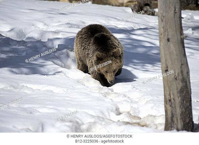 Brown bear in the snow, end of winter (Urrsus arctos), Pyrenees