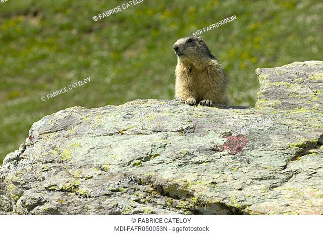 In the natural regional park of Queyras, marmot showing its head behind a rock