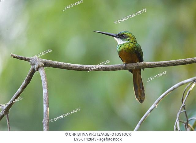 Rufous-tailed Jacamar, Galbula ruficauda, Pantanal, Brazil