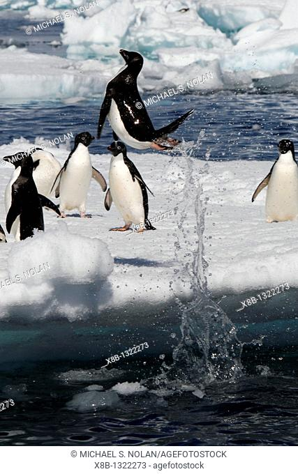 An adult Adelie penguin Pygoscelis adeliae leaping onto an ice floe in the Danger Island Group in the Weddell Sea, Antarctica