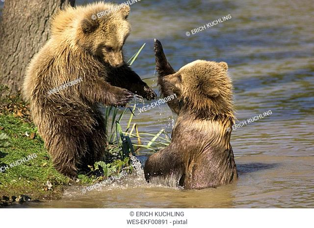 European Brown bear Ursus arctos