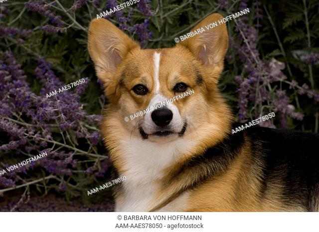 Pembroke Welsh corgi 'Ace'