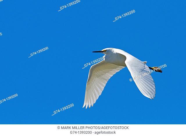 Snowy Egret in Flight at Elkhorn Slough, Moss Landing California USA