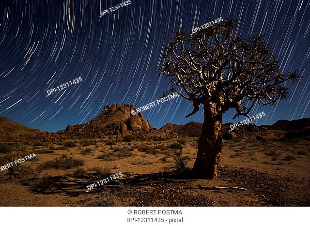 Star trails above a quiver tree (kokerboom or aloe dichotoma) in Richtersveld National Park; South Africa